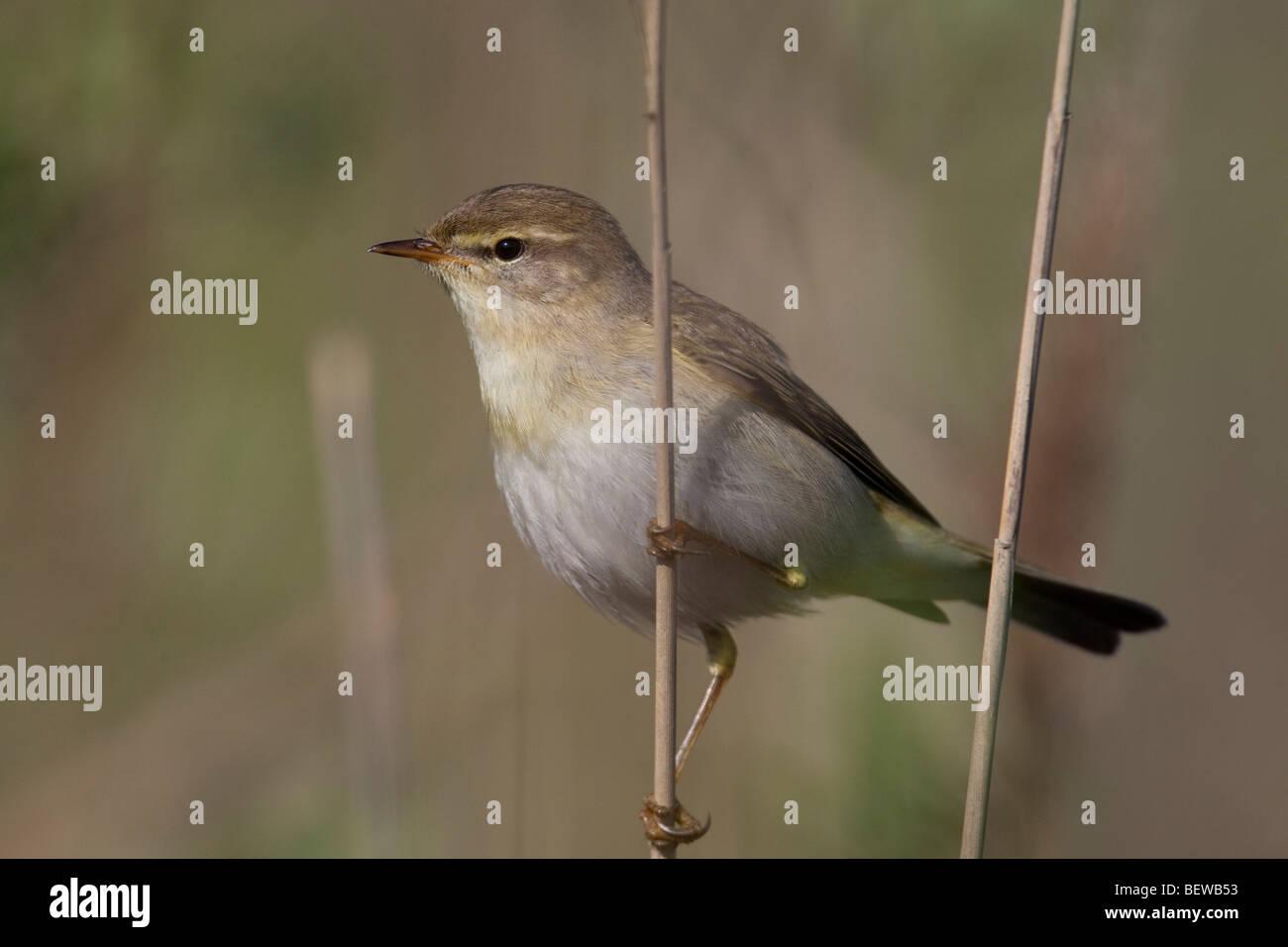 willow warbler, (Phylloscopus trochilus), Ganzansicht - Stock Image