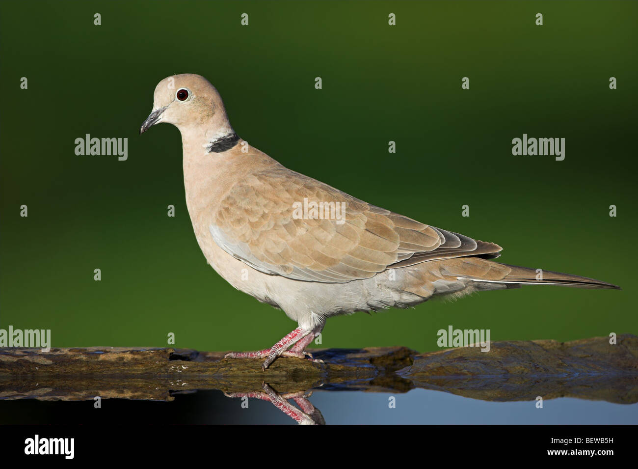 Eurasian Collared-Dove (Streptopelia decaocto) at watering place, side view Stock Photo
