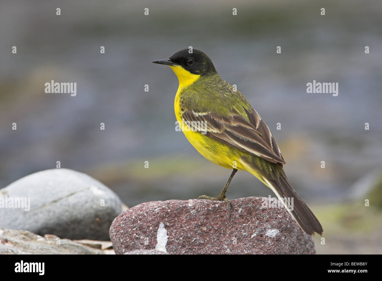 Black-headed Wagtail (Motacilla flava feldegg) sitting on stone, side view - Stock Image
