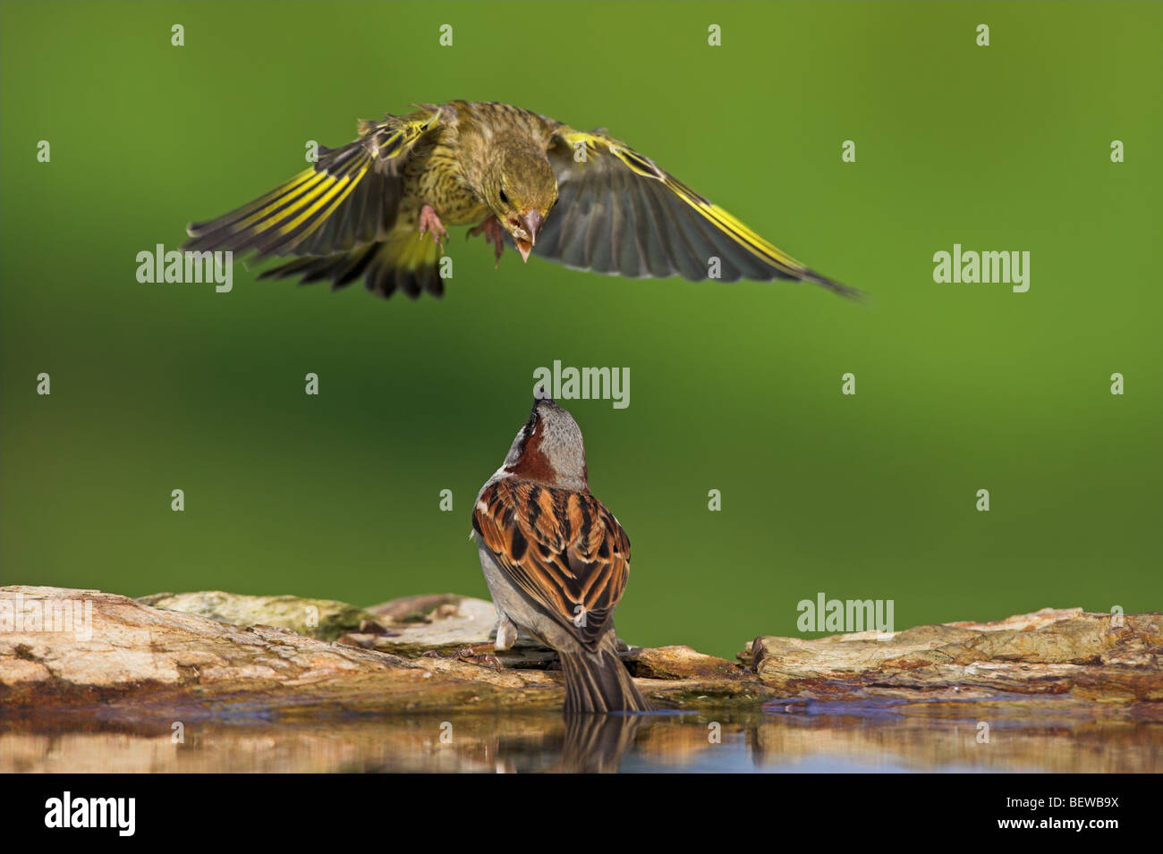 European Greenfinch (Carduelis chloris) attacking Sparrow (Passer) from the air, close-up Stock Photo