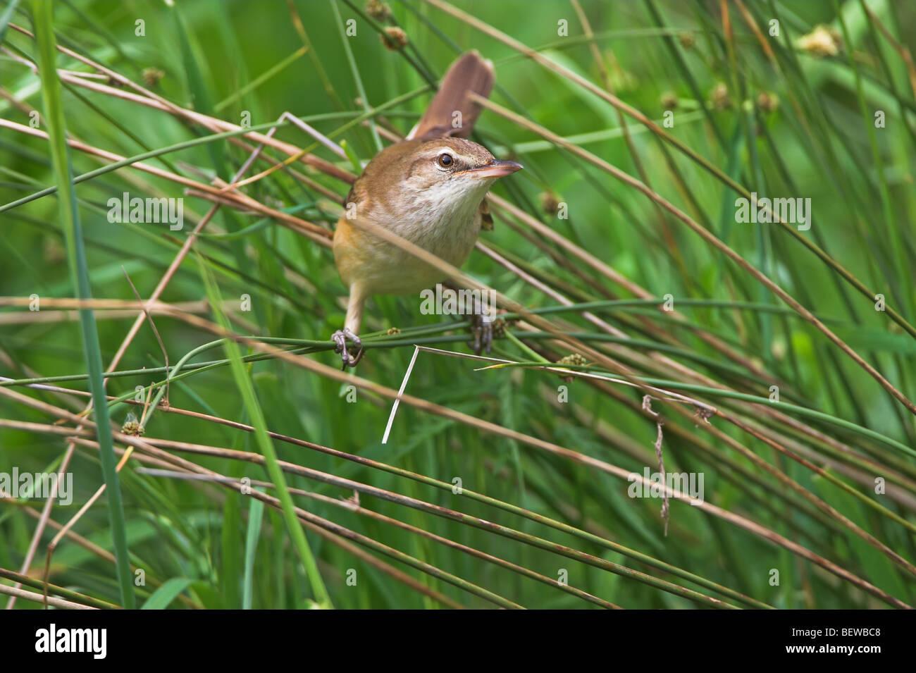 Great Reed Warbler (Acrocephalus arundinaceus) sitting among the reeds Stock Photo