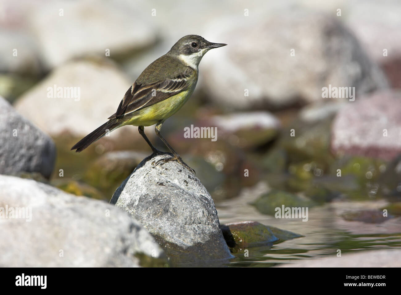 Black-headed Wagtail (Motacilla flava feldegg) sitting on stone on the waterfront, side view - Stock Image