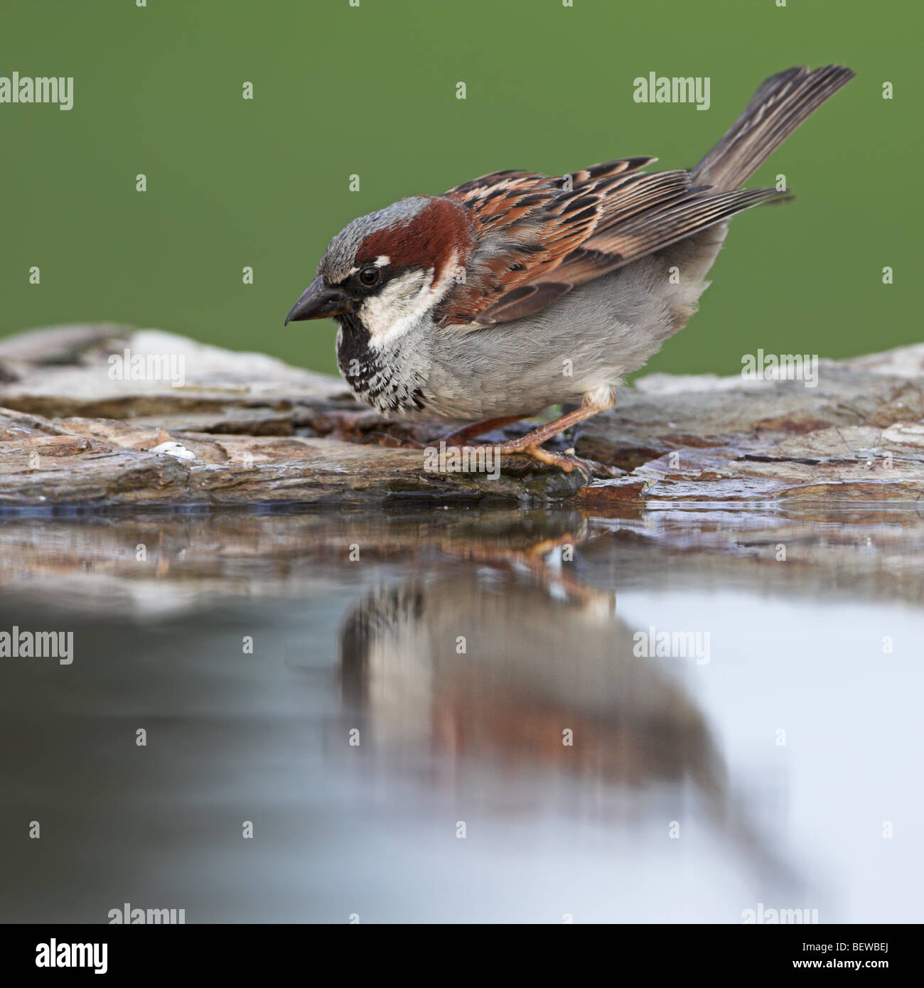 House Sparrow (Passer domesticus) sitting at the waters edge, side view Stock Photo