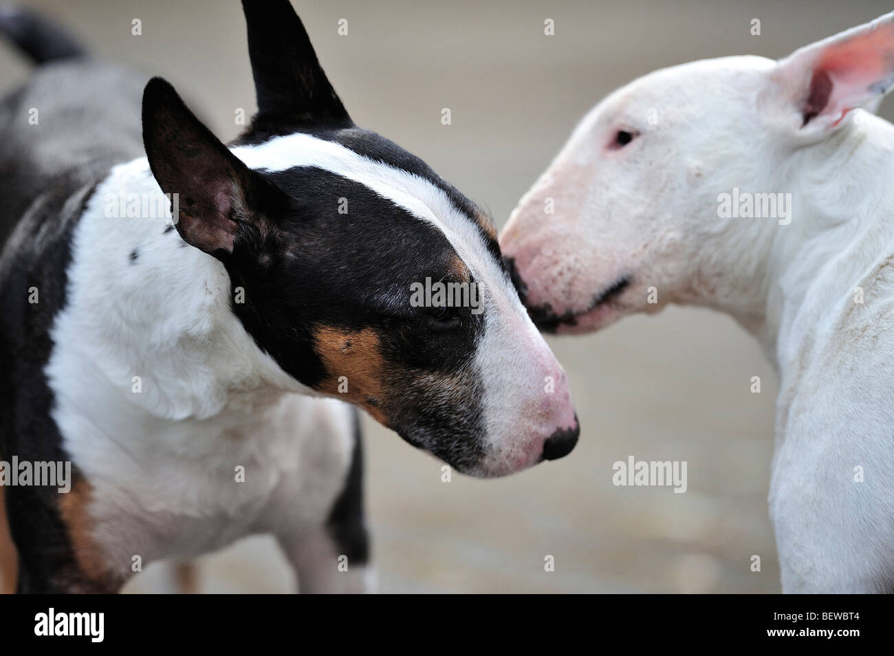 two bull terriers, side view - Stock Image
