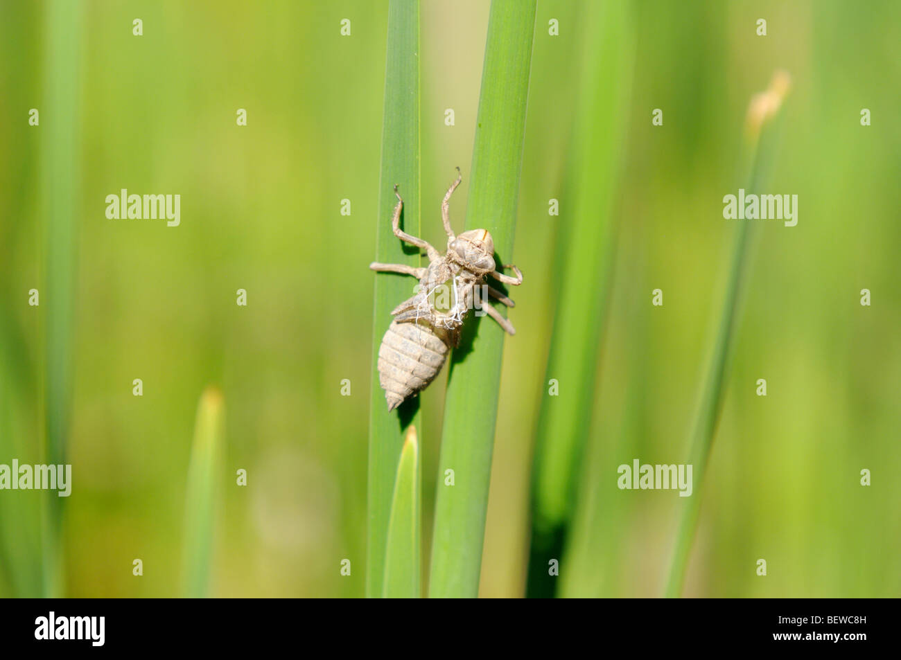 Dragonfly sitting on a blade of grass, close-up - Stock Image