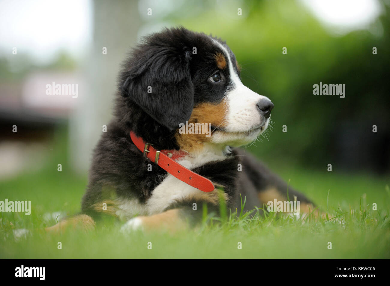 Bernese mountain dog puppy lying on a meadow, close-up - Stock Image