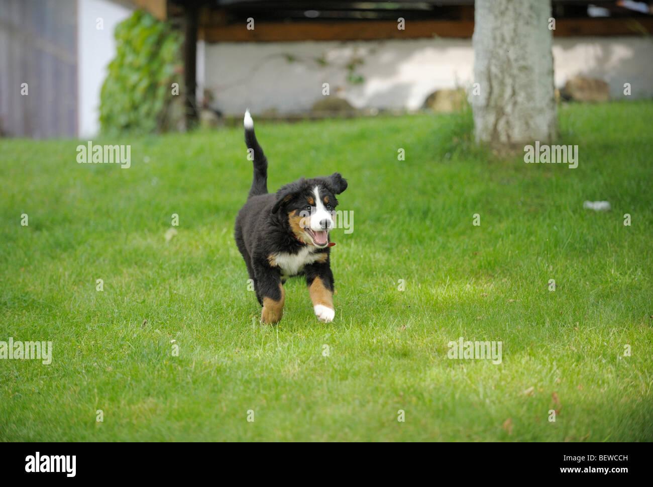 Bernese Mountain Dog Schnauzer Stock Photos Bernese