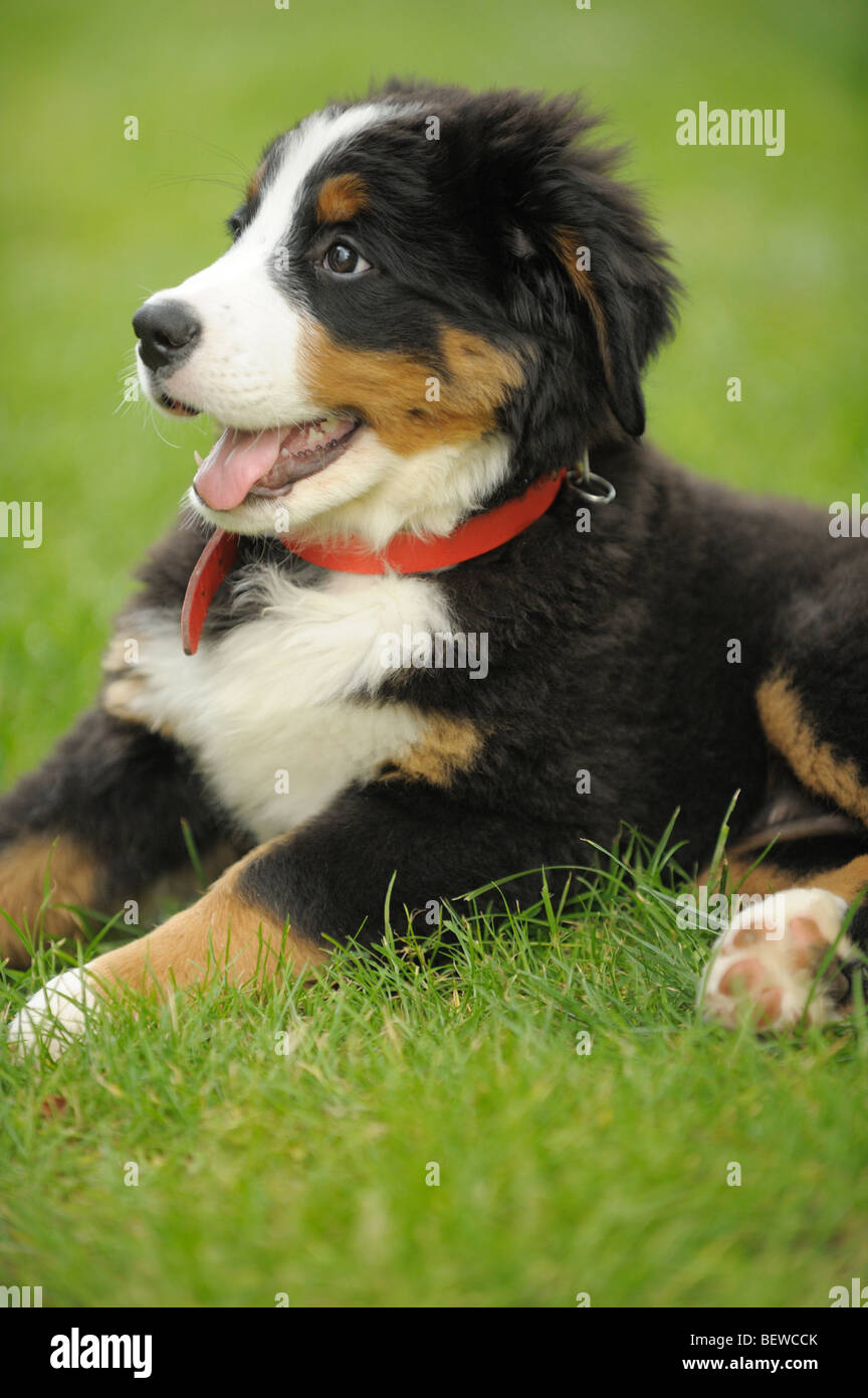 Bernese mountain dog puppy lying on a meadow - Stock Image