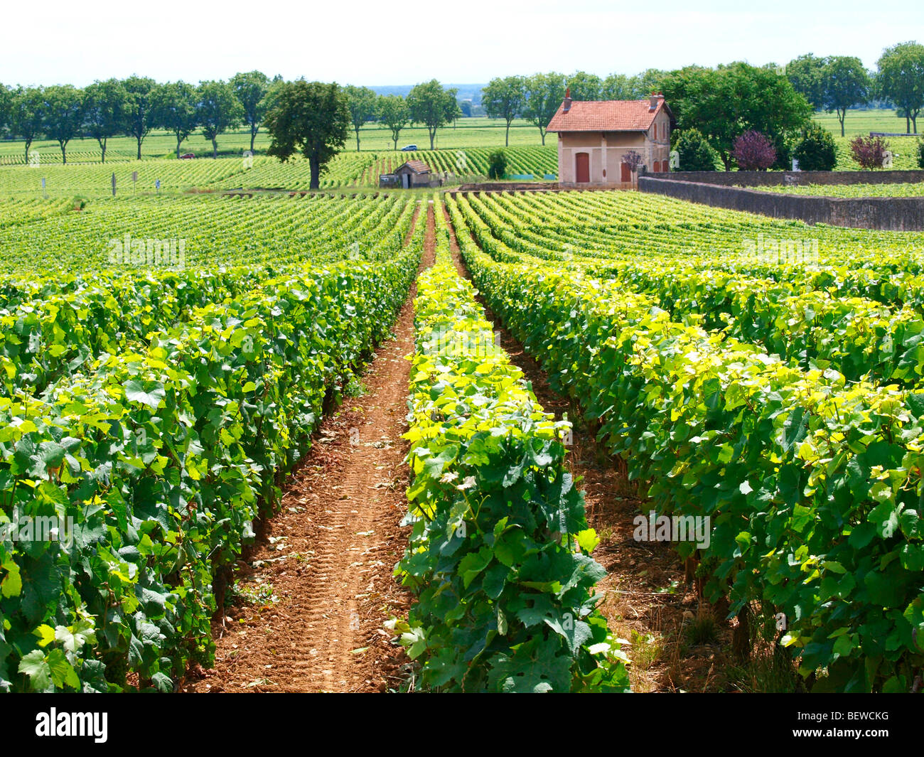 Vineyard with house in the background, Beaune, Burgundy, France - Stock Image