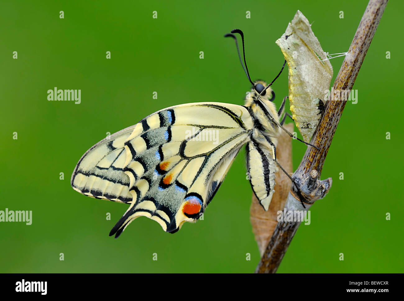 Newly hatched Old World Swallowtail (Papilio machaon) sitting on stalk, side view - Stock Image
