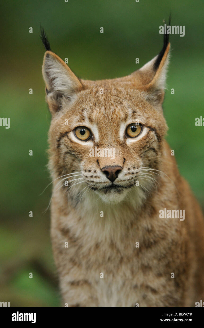 Eurasian Lynx (Lynx lynx), Bavarian Forest, Germany, portrait - Stock Image