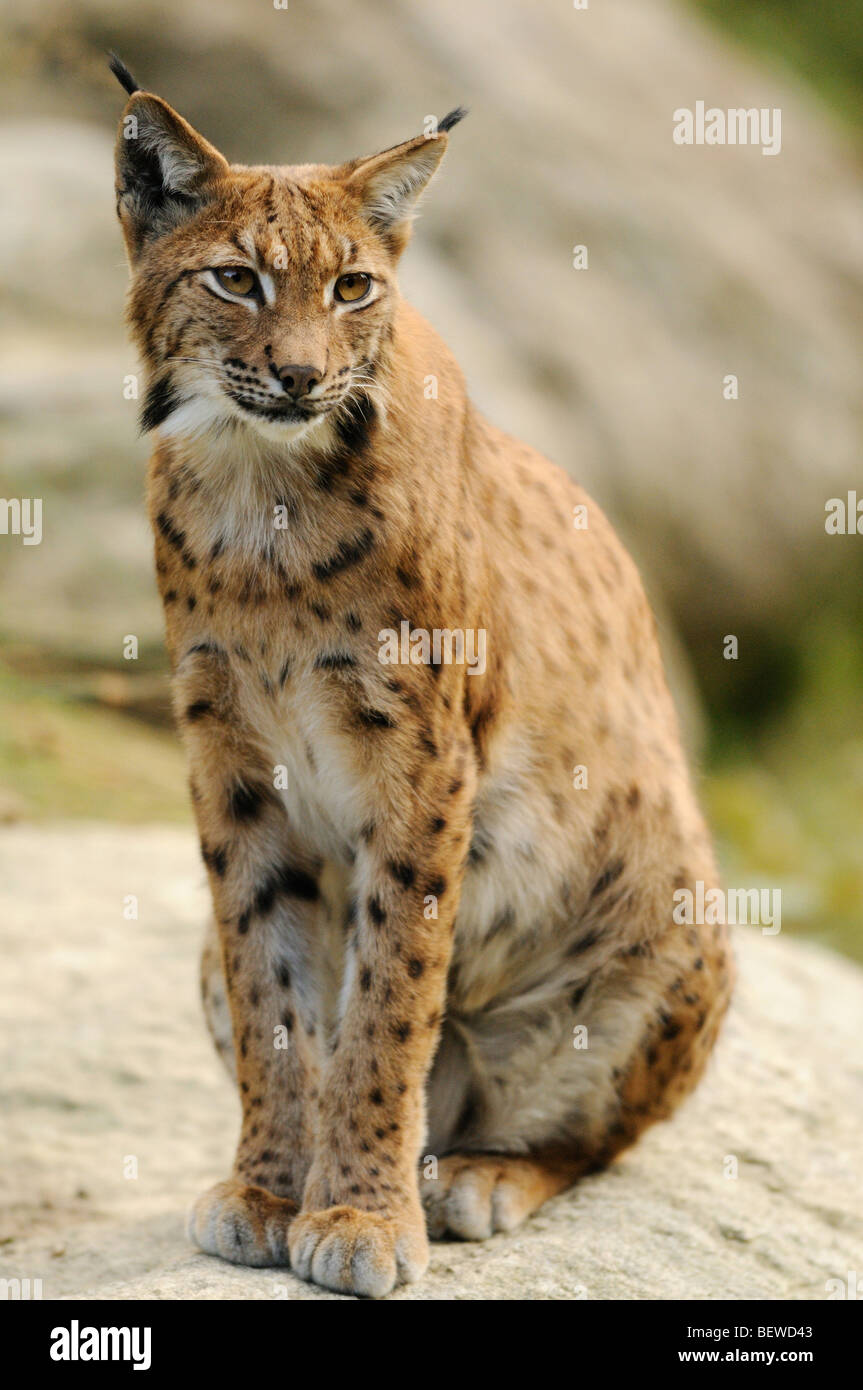 Eurasian Lynx (Lynx lynx) sitting on rock, Bavarian Forest, Germany, full-length - Stock Image