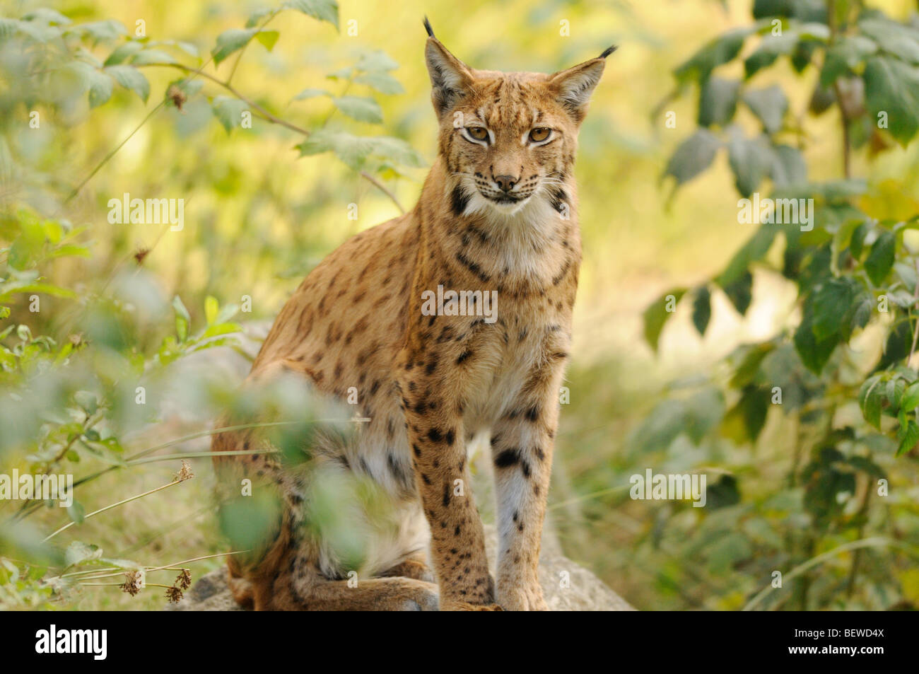 Adult Lynx (Lynx lynx) sitting on rock, Bavarian Forest, Germany, eye contact - Stock Image
