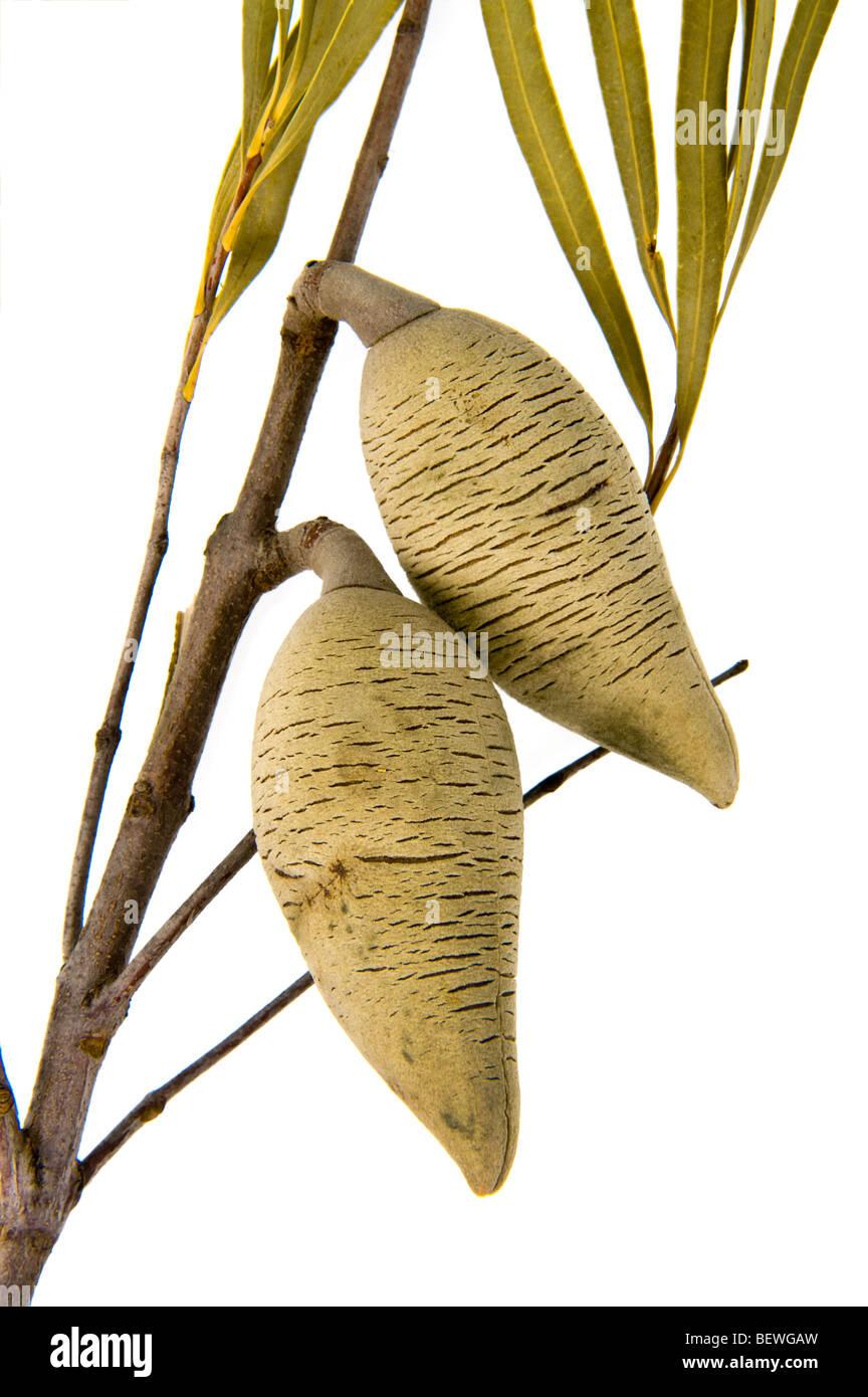 Sandplain Woody Pear Xylomelum angustifolium woody fruits Proteaceae family persistent woody fruits seedpods seedpods - Stock Image