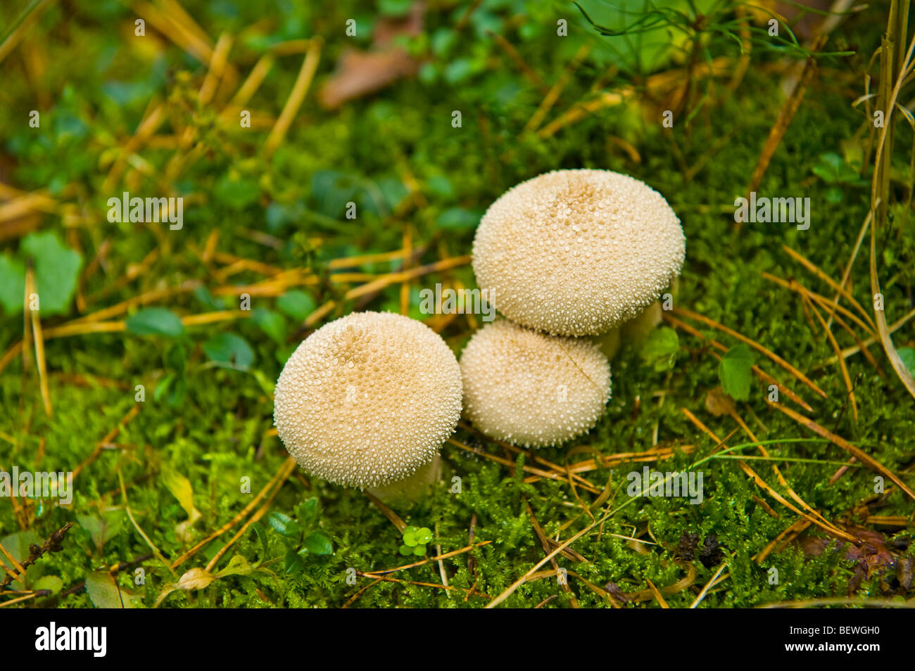 mushroom on meadow bovist funghi fungus germany forest europe 3 three nature natural food edible eat eatable moss - Stock Image
