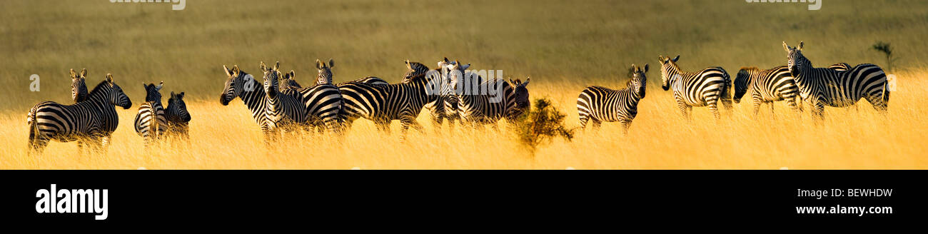 PANORAMA pano herd of wild zebras in Chyulu Hills Kenya kenia East Africa stripe stripes stroke stroking fondle - Stock Image