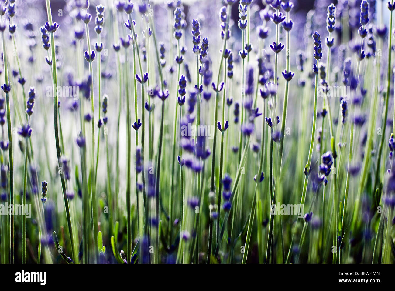 Lavenders (Lavandula angustifolia hidcote) in a field - Stock Image