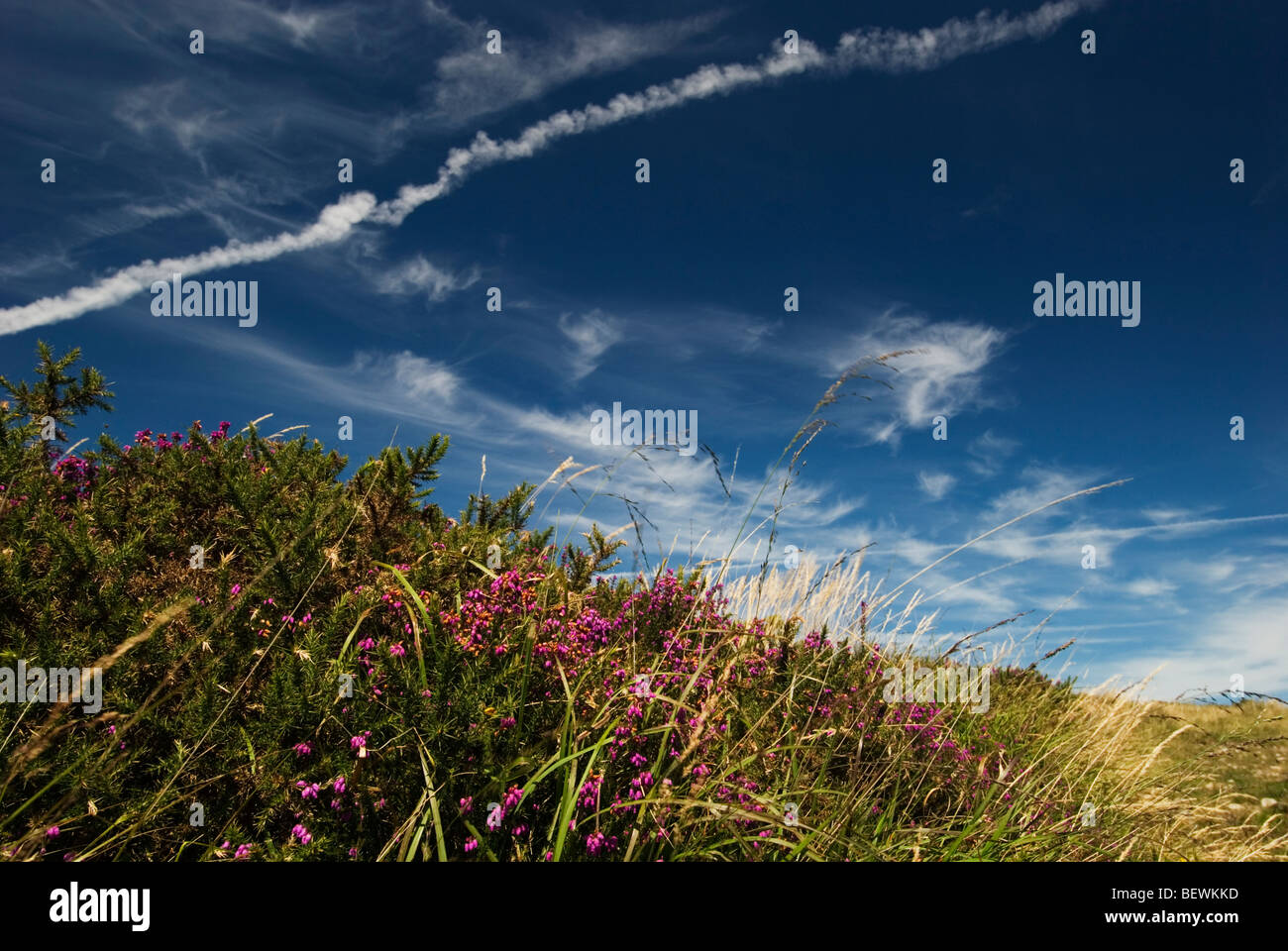 Flowering heather against a vivid blue sky and wispy clouds, Dartmoor, Devon UK - Stock Image