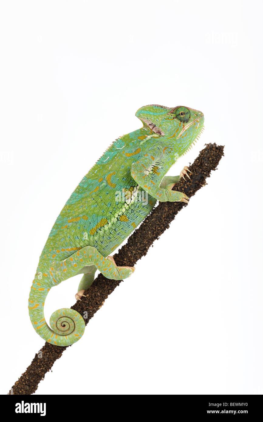 Studio photograph of a Yemen or Veiled Chameleon - Stock Image