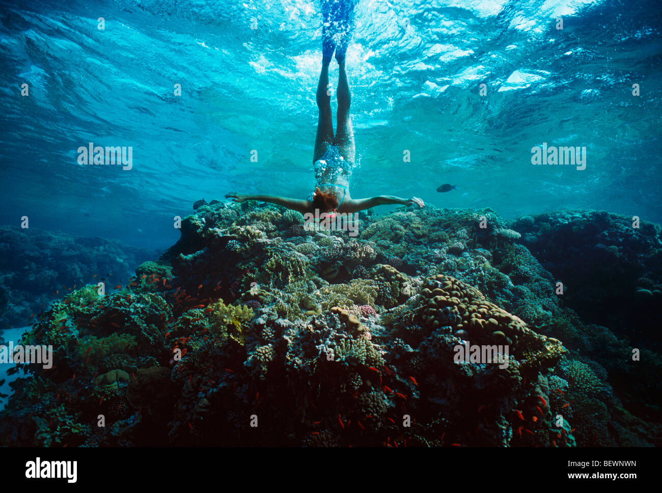 Free diver observes coral reef. Sinai, Egypt - Red Sea - Stock Image