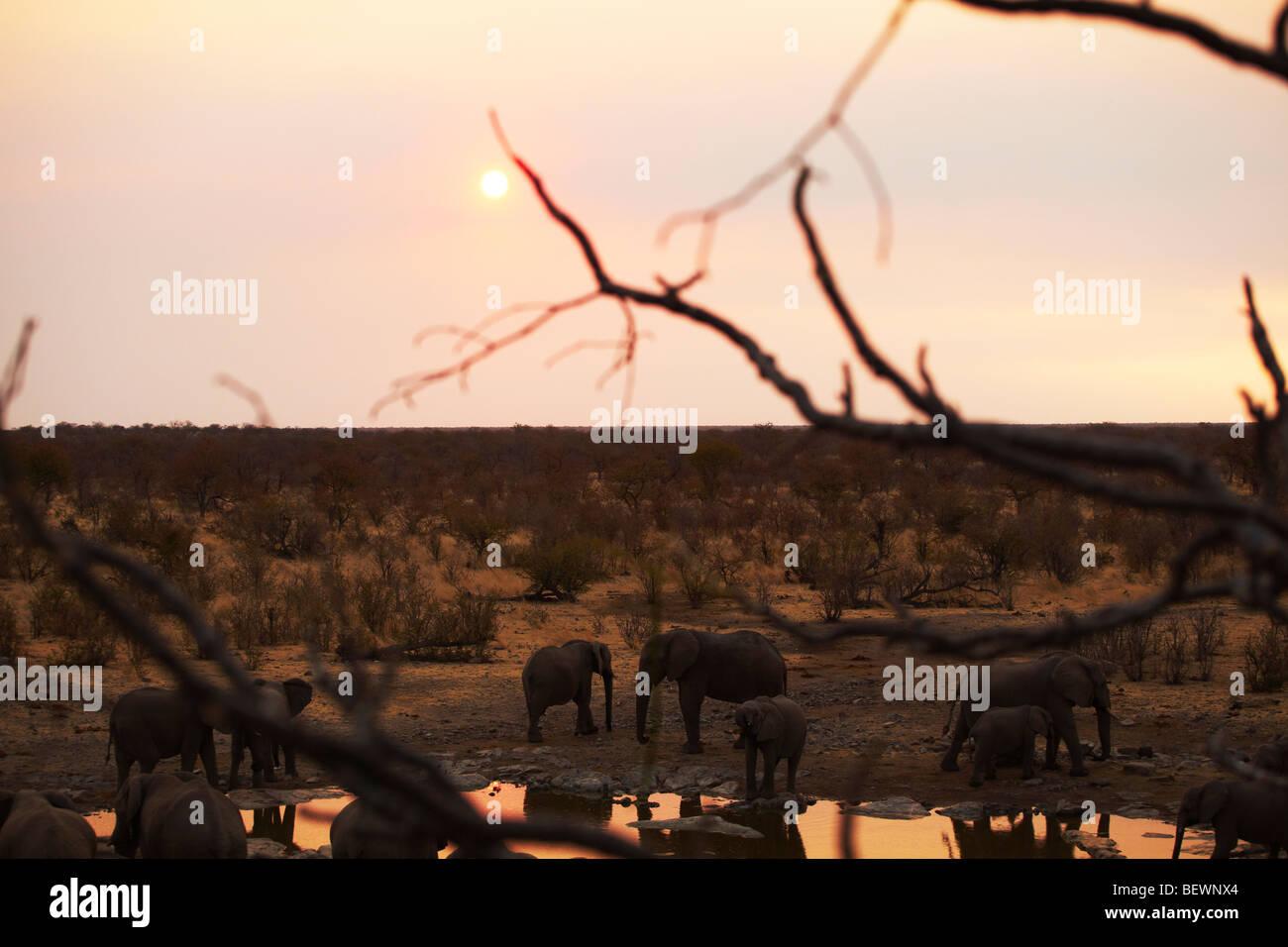 Elephants at waterhole, Etosha National Park - Stock Image