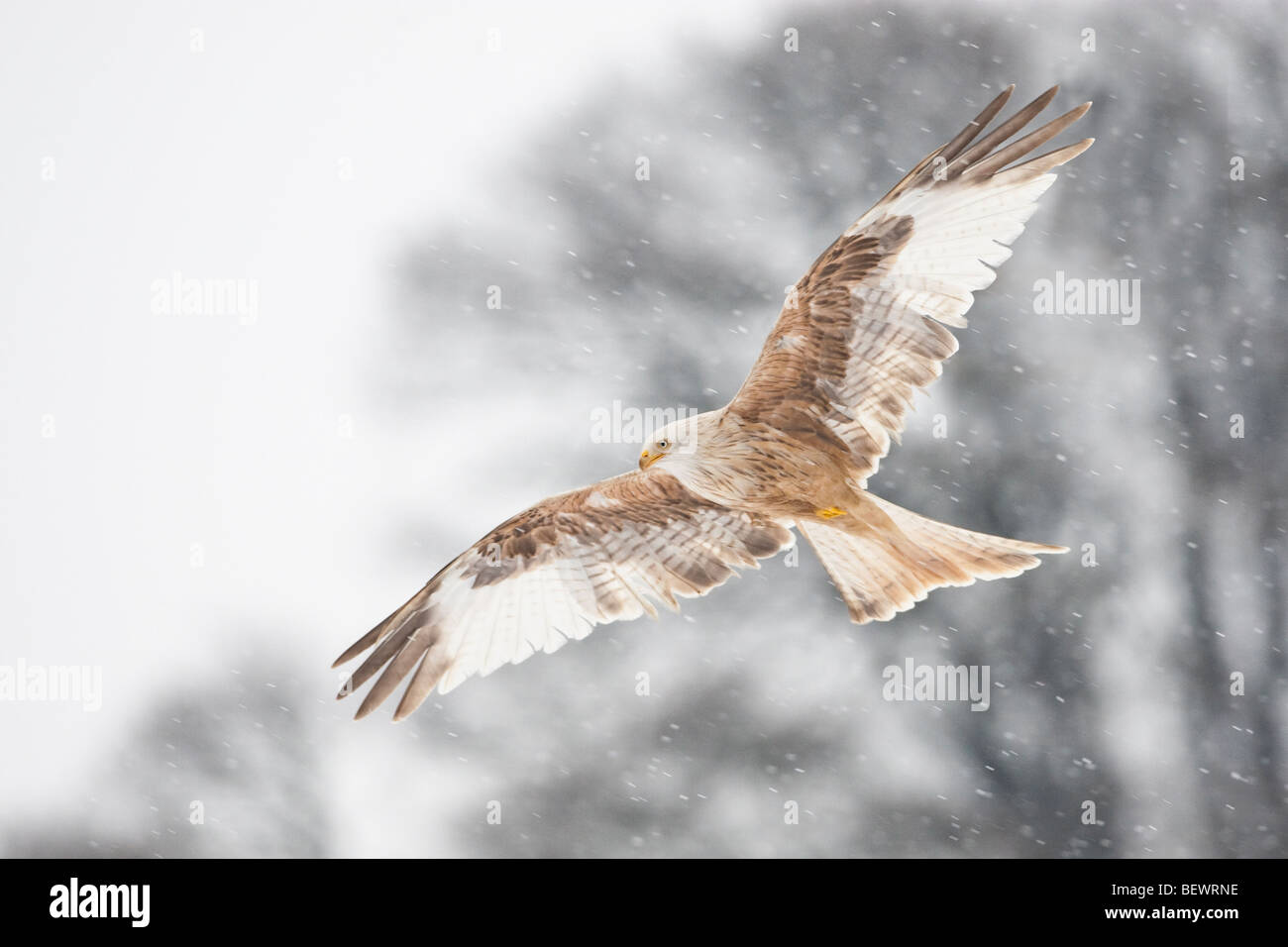 Red kite - Leucistic version showing pale colouring - Stock Image