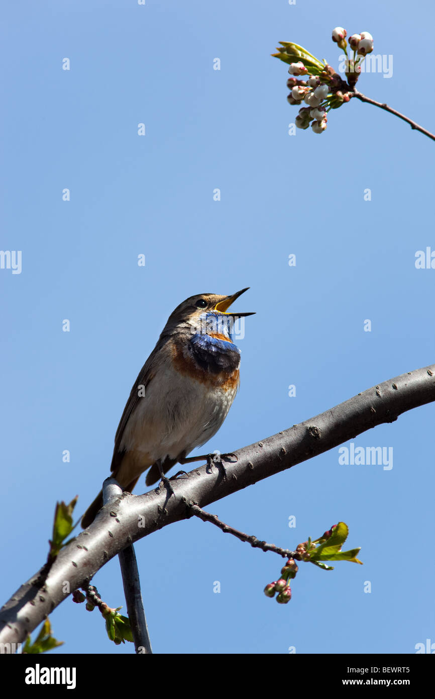 The Beautiful Bird Sings A Spring Song In The Wild Nature.   Stock