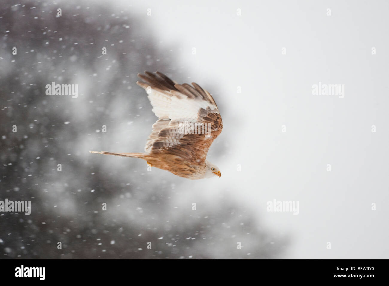 Leucistic red kite flying in a snow storm - Stock Image