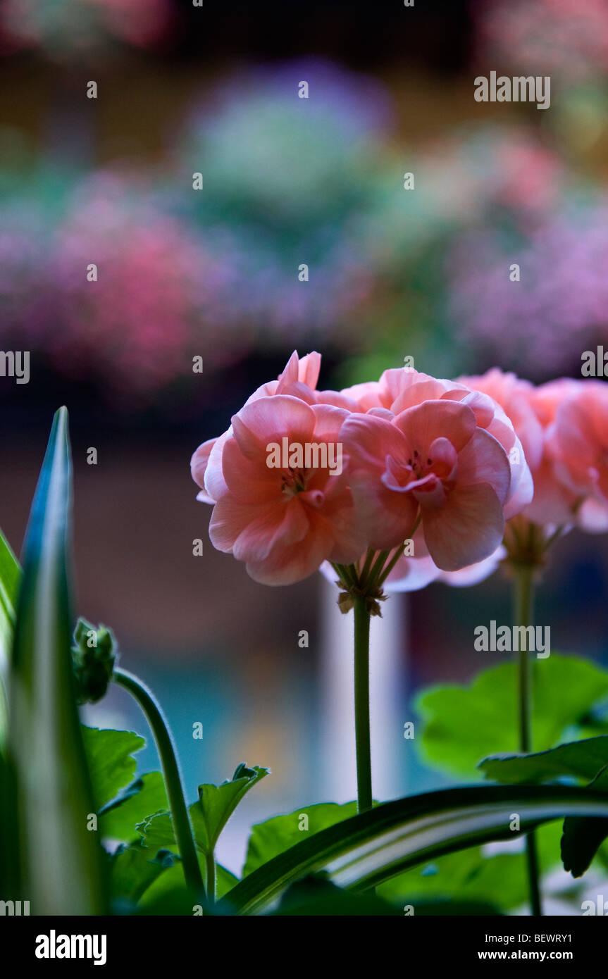 Close view on a pink Pelargonium in Alsace window box - Stock Image