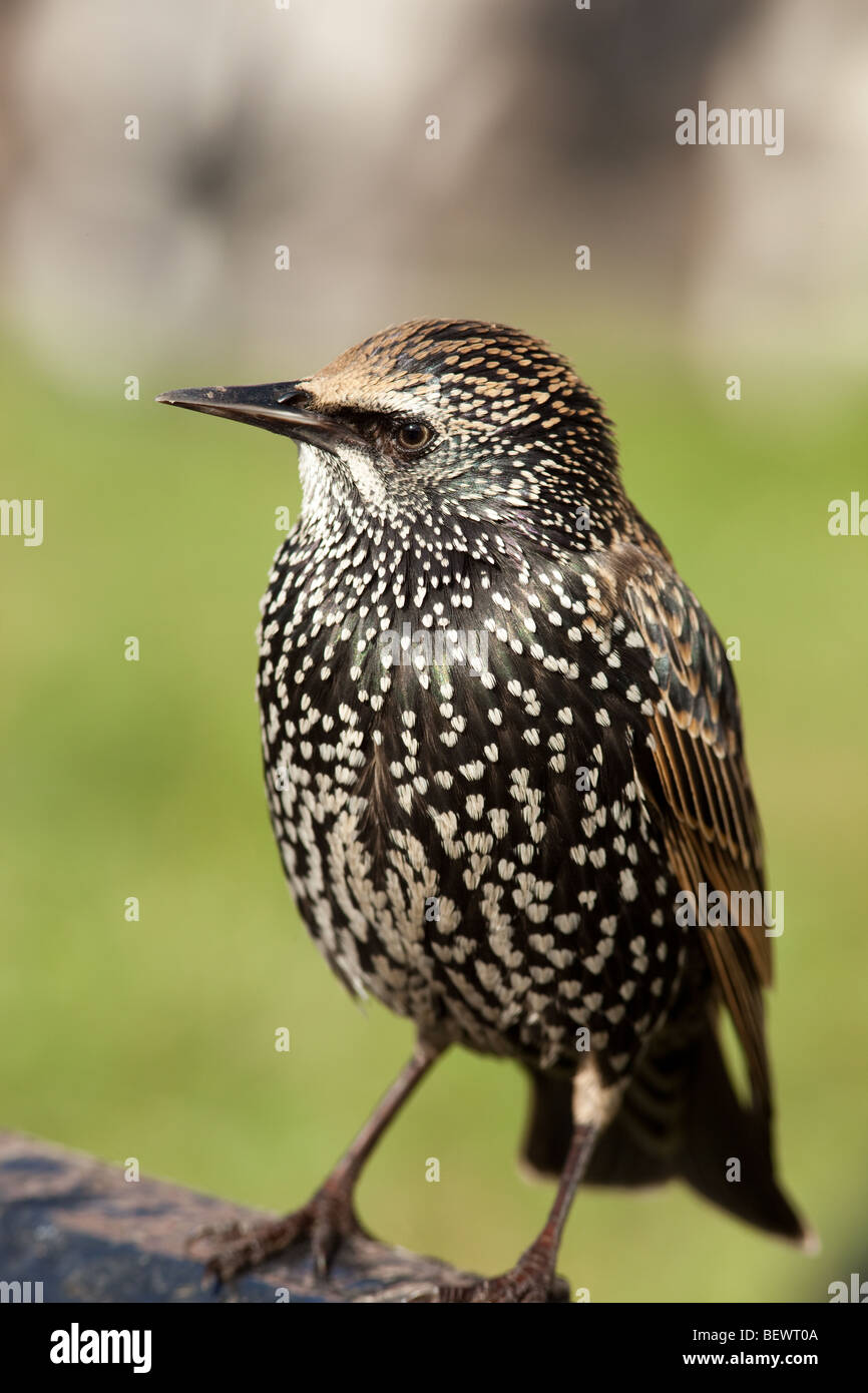 Common starling in the autumn before flying away Stock Photo