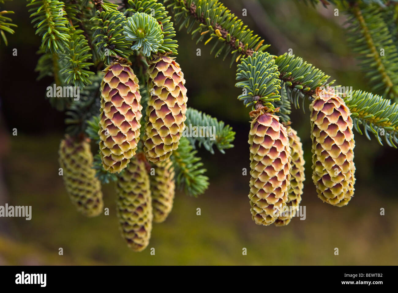 Sitka Spruce cones, Picea sitchensis, Gwaii Haanas National Park Reserve, Queen Charlotte Islands of British Columbia, - Stock Image