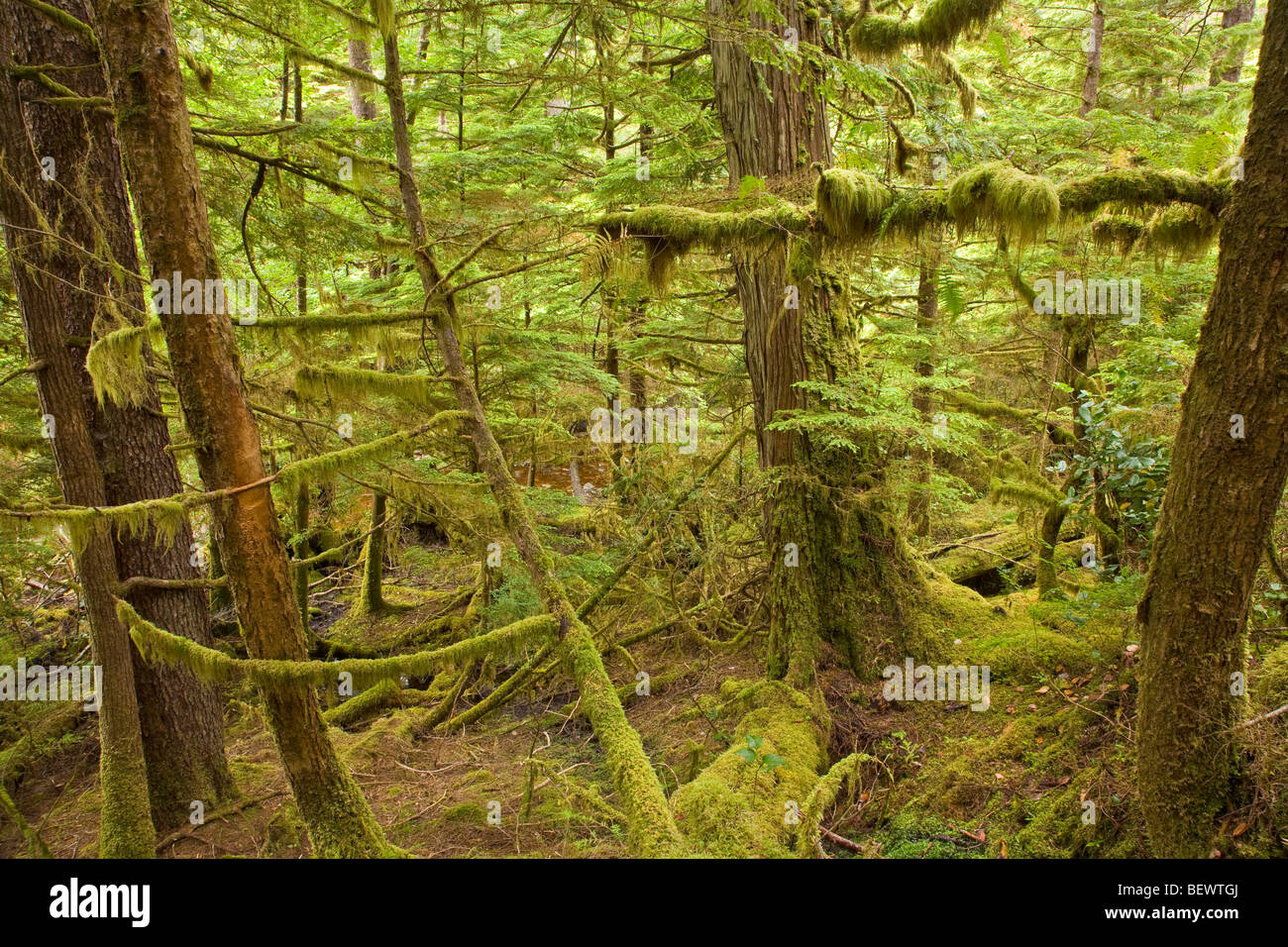 Temperate rainforest on Moresby Island in Gwaii Haanas National Park Reserve, Queen Charlotte Islands, British Columbia, - Stock Image