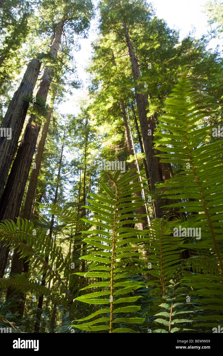 A view of redwoods and ferns in Prairie Creek Redwoods State Park, California. - Stock Image