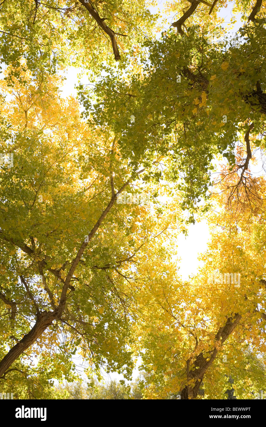 vertical image of autumn leaves changing colors, large cottonwood trees in New Mexico, USA - Stock Image