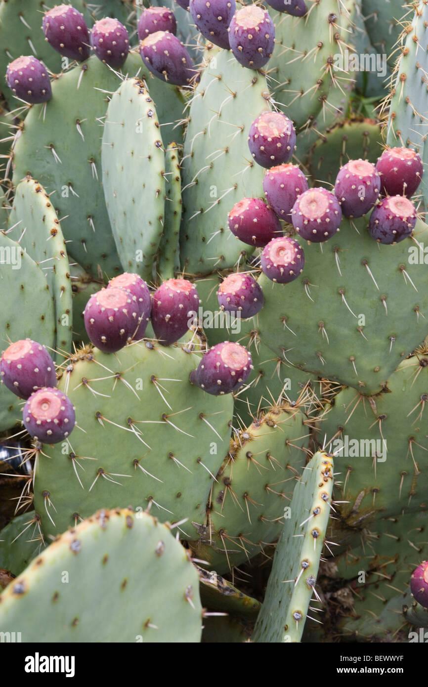 prickly pear cactus fruit garden needle purple eatable vegetable - Stock Image