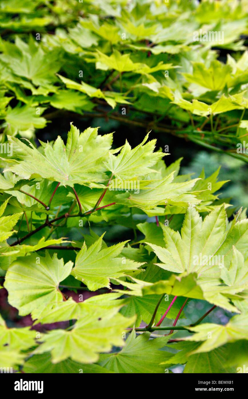 Acer Shirasawanum Aureum Agm New Foliage Syn Acer Japonicum