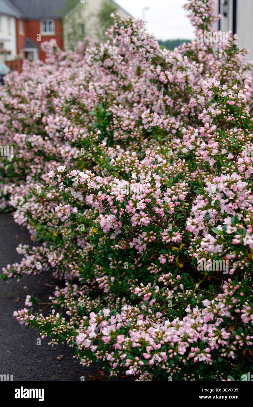 Escallonia 'Apple Blossom' used as hedging - Stock Image