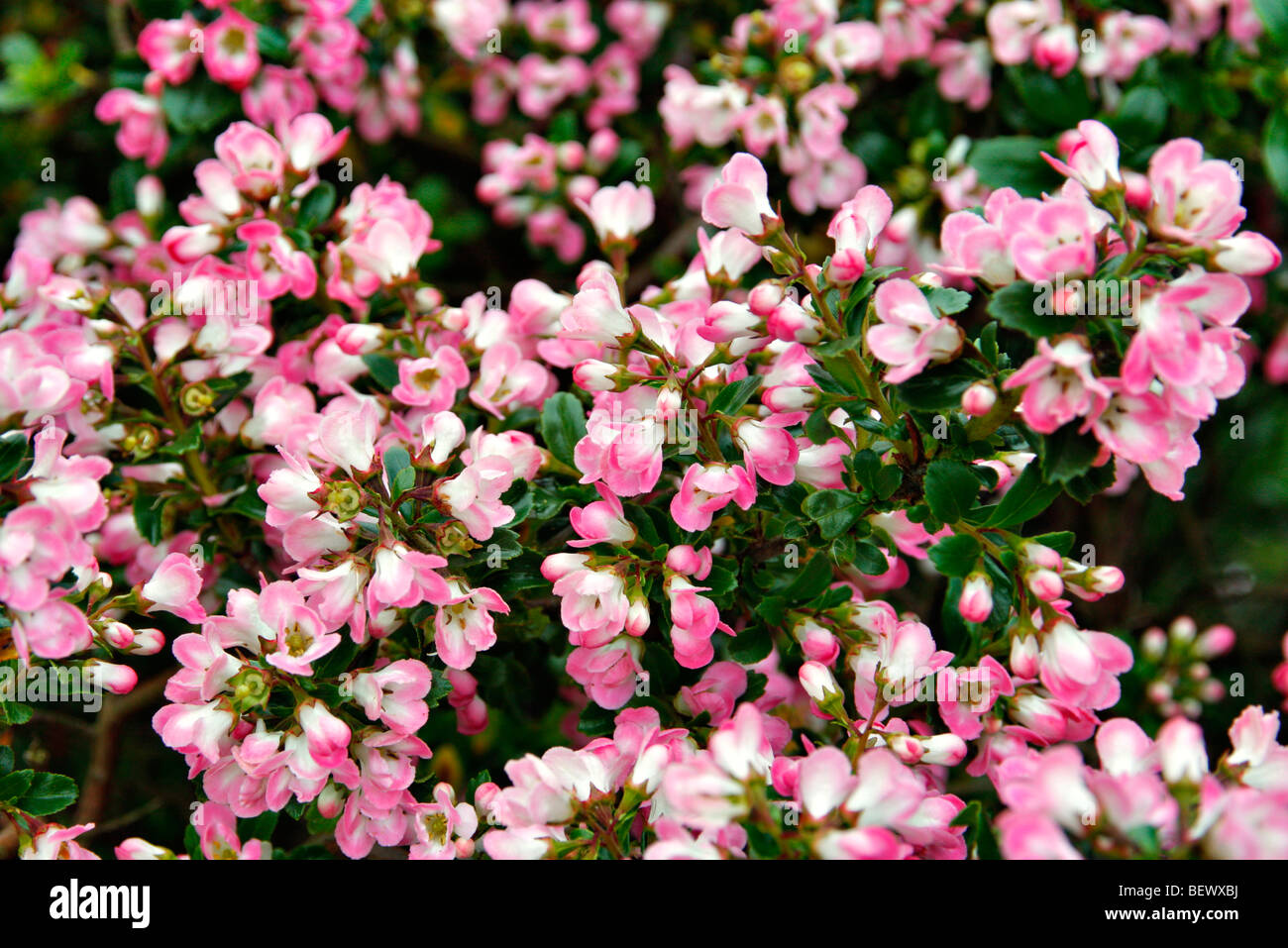Escallonia 'Peach Blossom' used as hedging - Stock Image