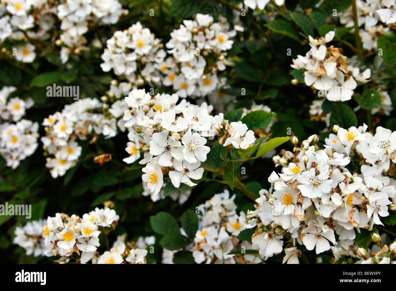 Rosa mulliganii syn Rosa longicuspis Rambler Rose Stock Photo
