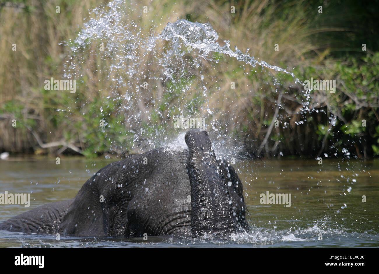 African elephant bathing in the Okavango Delta, Botswana. - Stock Image