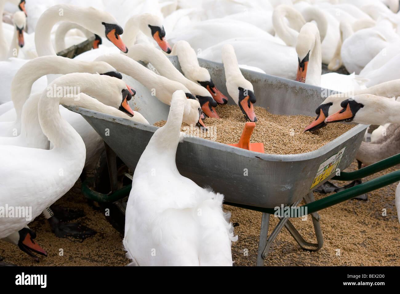 Swans feeding from a wheelbarrow. - Stock Image