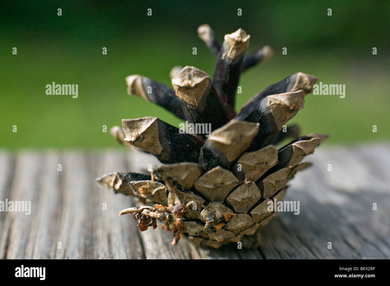 Female conifer cone in close-up - Stock Image