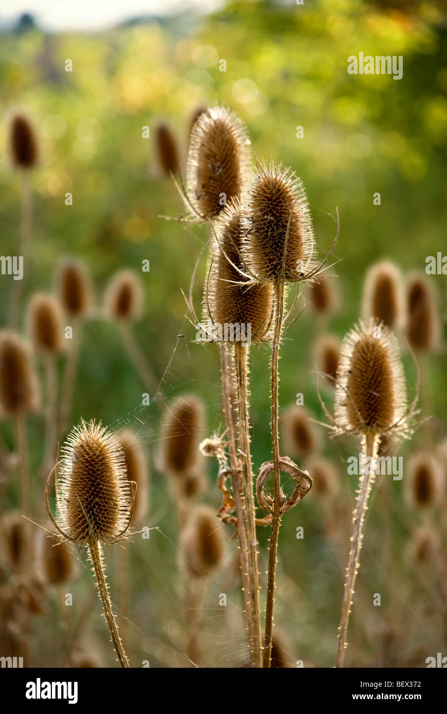 Teasels back lit by later afternoon sun with out of focus teasels in the background, taken early autumn - Stock Image