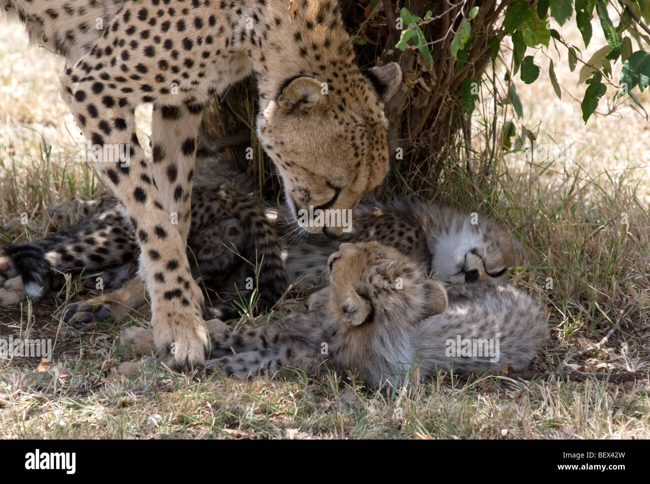Cheetah mother greets her cubs in the Masai Mara - Stock Image