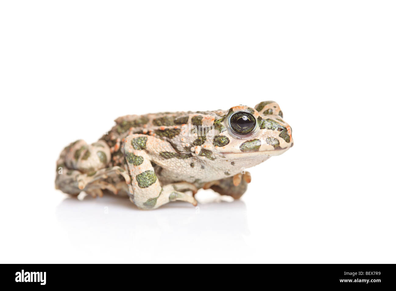 A frog isolated on white background - Stock Image