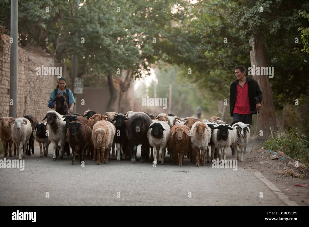 Uyghur shepherds bringing the flock in from grazing at the end of the day in Turpan, China. - Stock Image