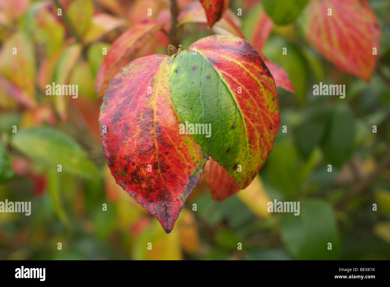 A tree with red and green leaves exhibiting senescence in autumn - Stock Image