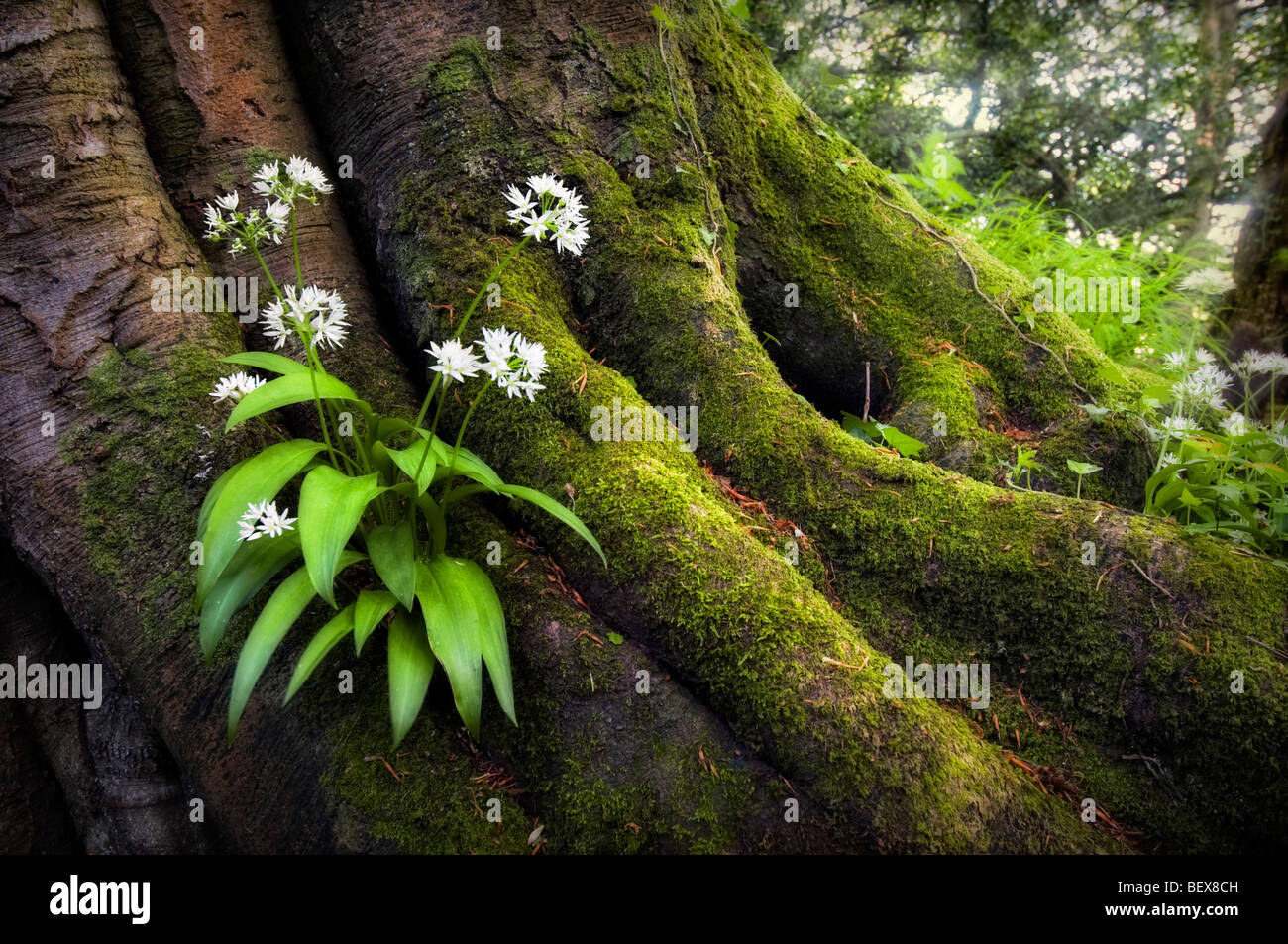 Wild garlic plant growing out of old tree roots covered in moss with sun rays in background taken at Tintern Monmouthshire - Stock Image