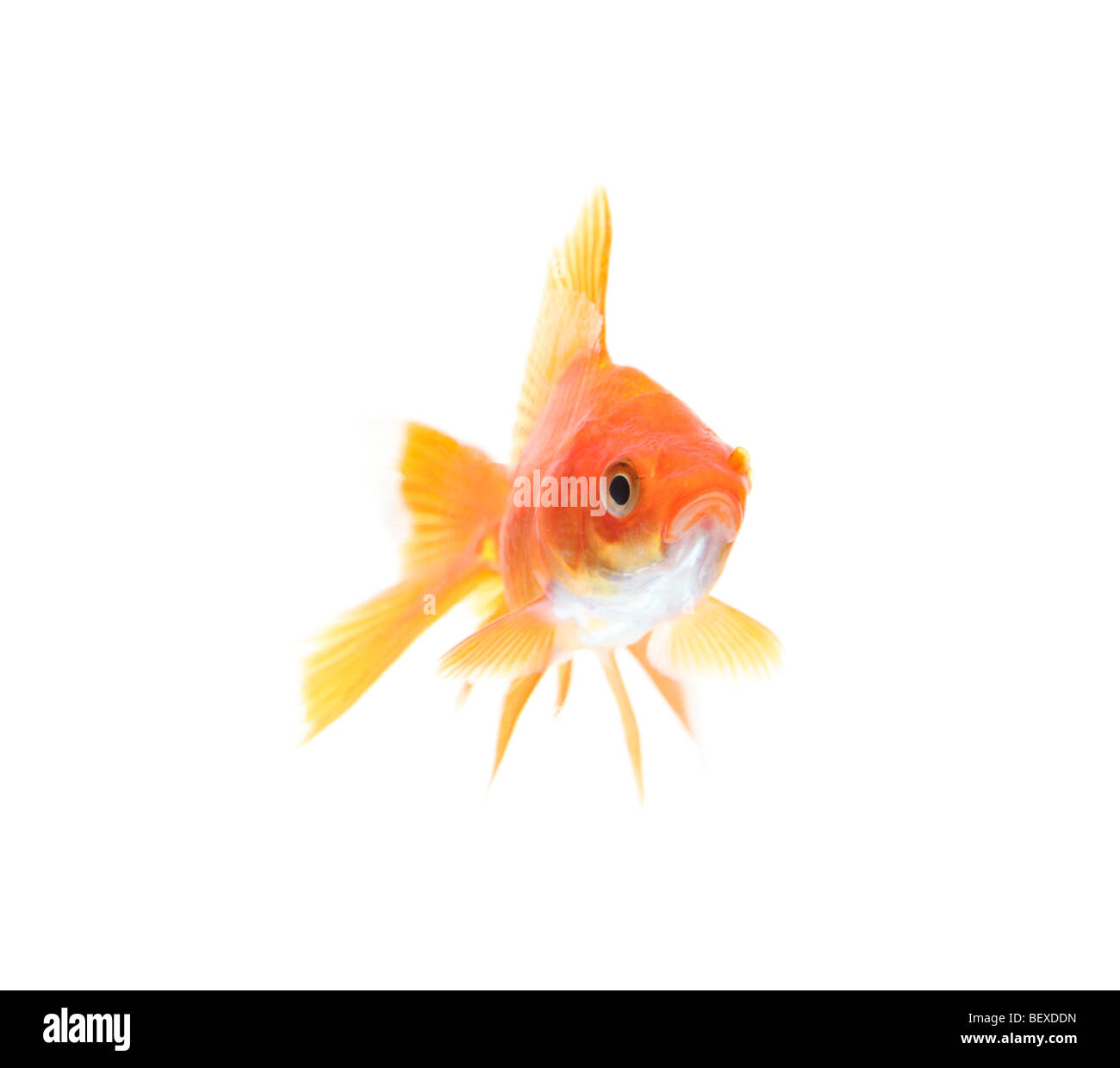 Gold fish against white background Stock Photo