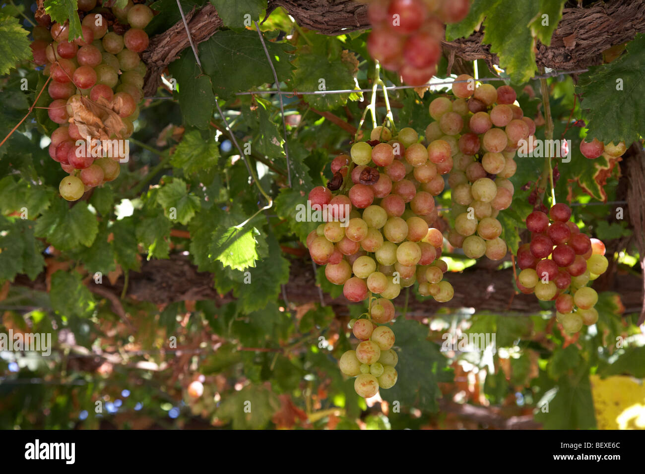 grapes hanging from overhead vines in the grounds of a small monastic winery in the troodos mountains republic of - Stock Image